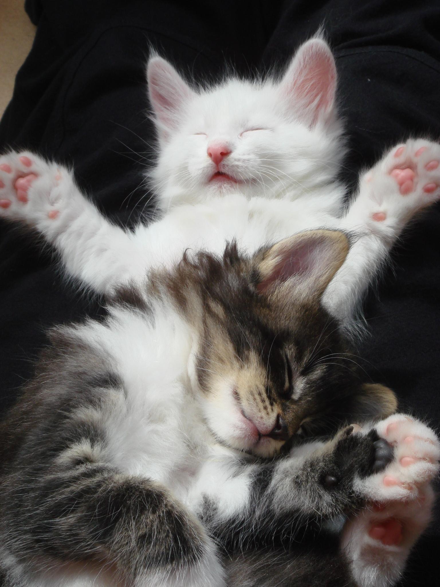 I gattini e il sonno cuccioli norvegesi delle foreste - Gatto pipi letto ...