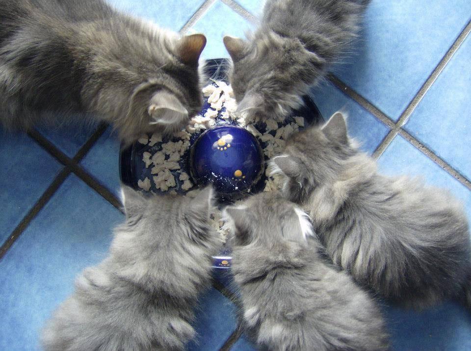 Alimentazione del gatto e bisogni nutrizionali