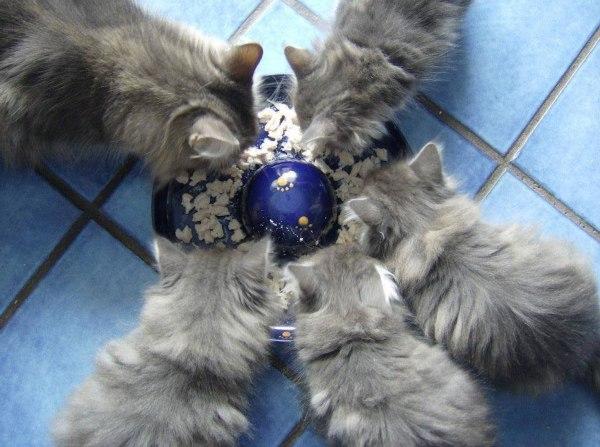 Blue Lynx Litter F